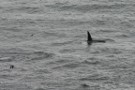 Killer Whale, Sumburgh Head