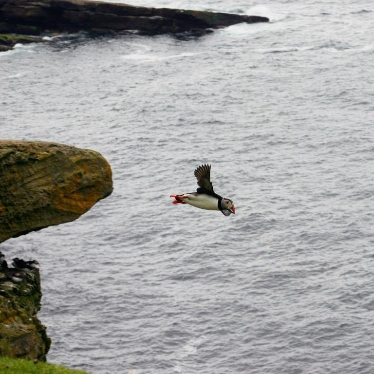 Puffin And Sandeels, Foula