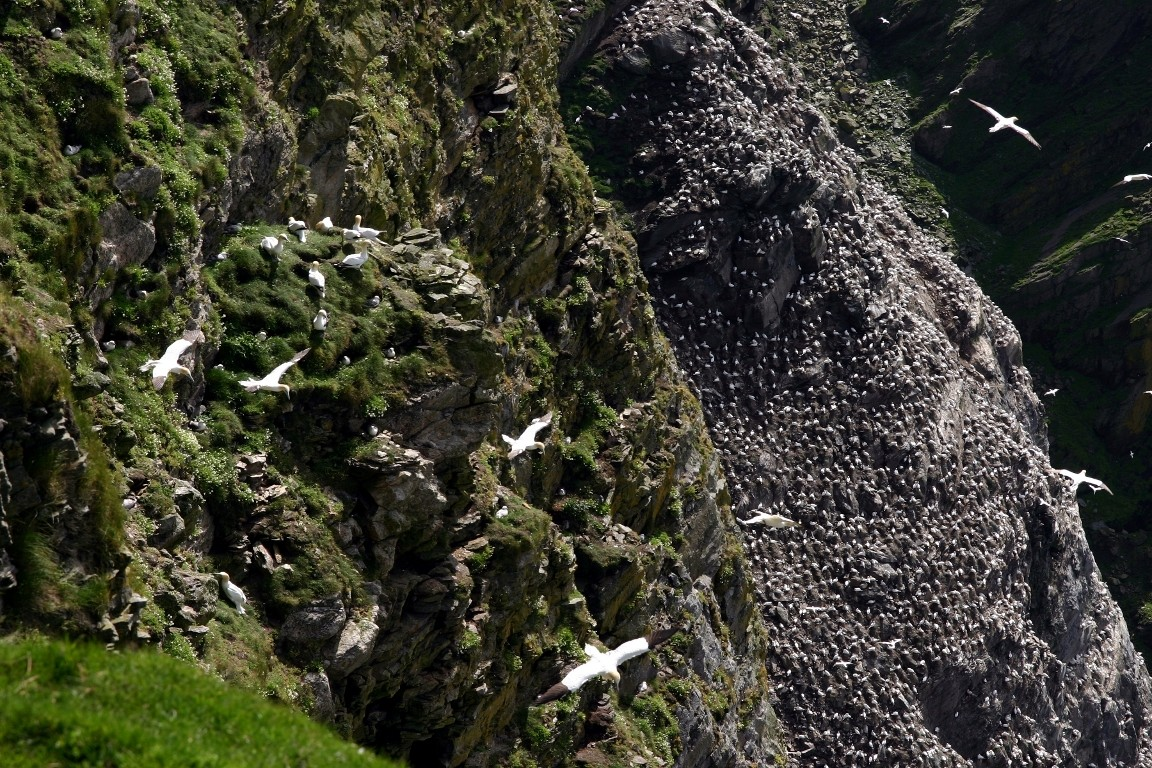 Gannets, Thousands Of Them, Herma Ness, Unst