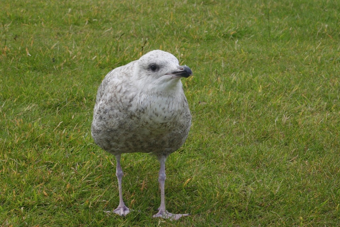 Herring Gull Chick, Lerwick