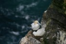Gannet And Chick, Herma Ness, Unst