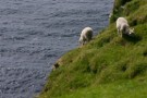 Suicidal Sheep, Herma Ness, Unst