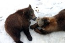 Bear Cubs In New Bear Enclosure, Bern