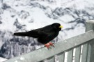 Alpine Chough, Schilthorn