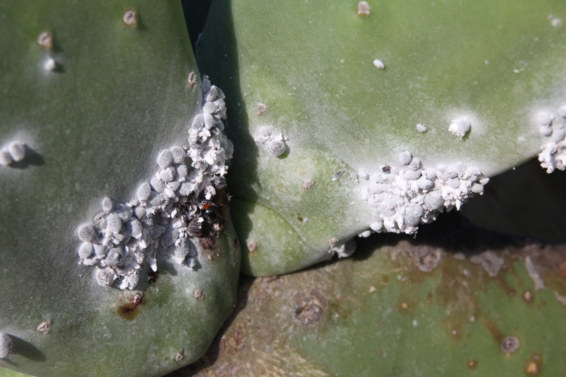 Cochineal On Cactus, Guatiza