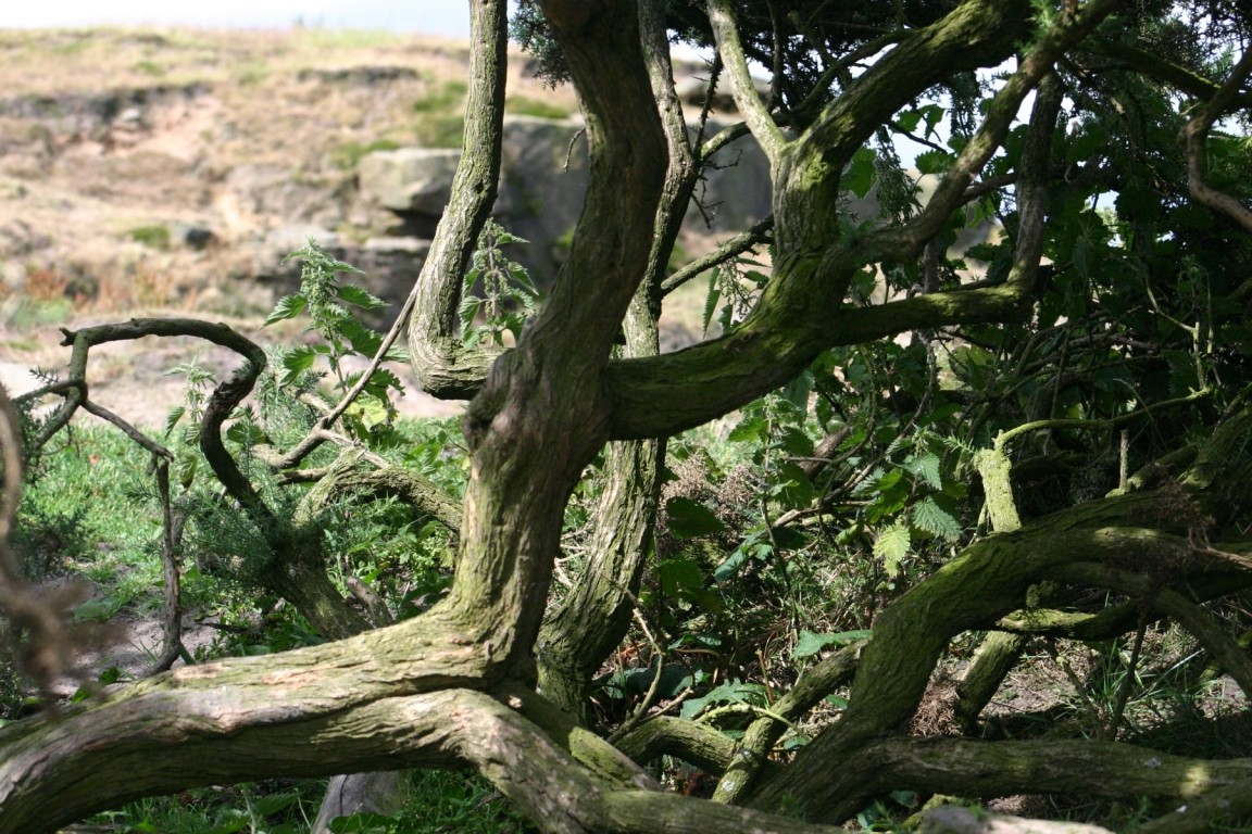Tree On Almscliff Crag