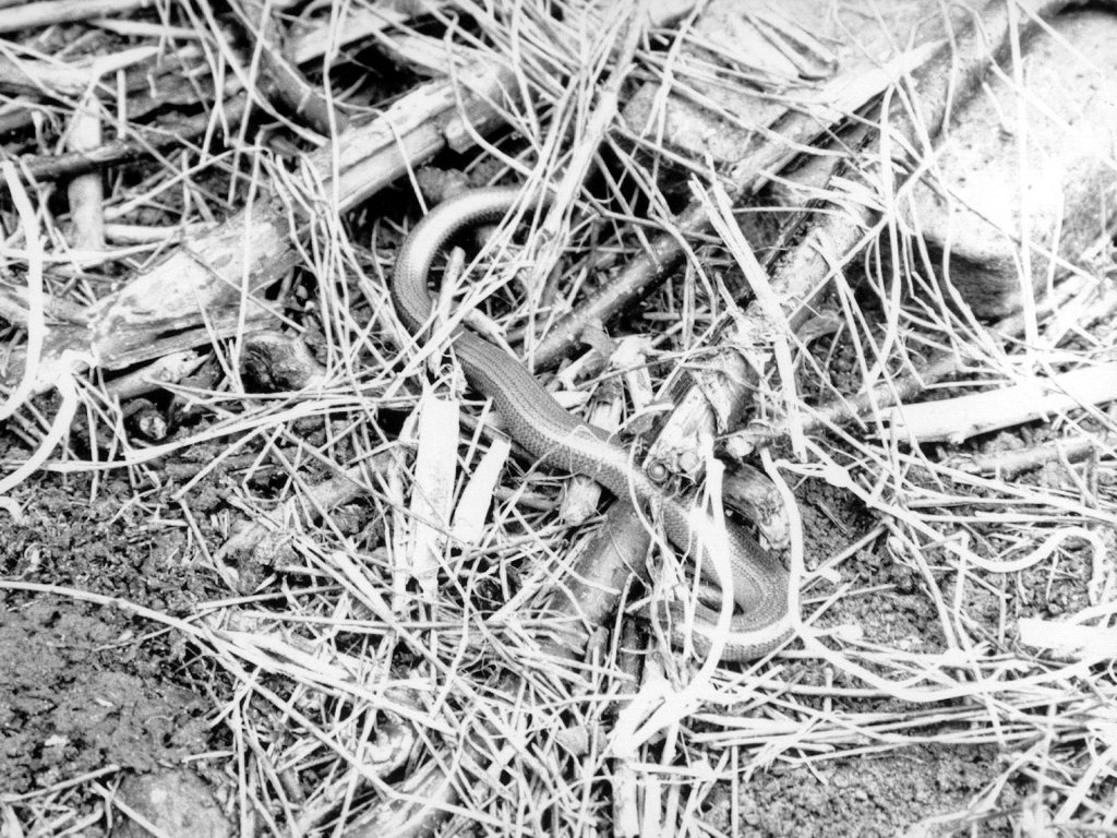 Slow Worm On Allotment