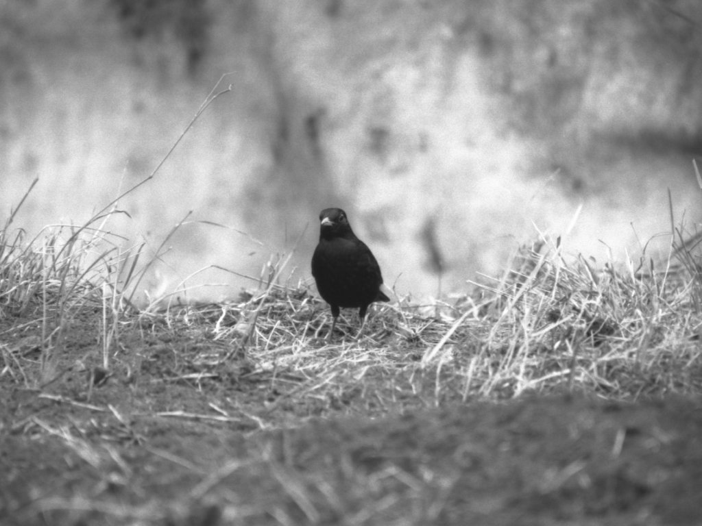Blackbird On Allotment