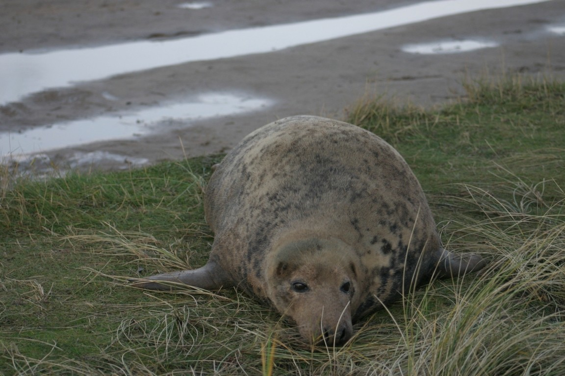 Seal On The Grass