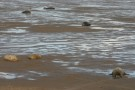 Seals On The Muddy Sand