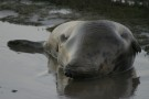 Wallowing Seal