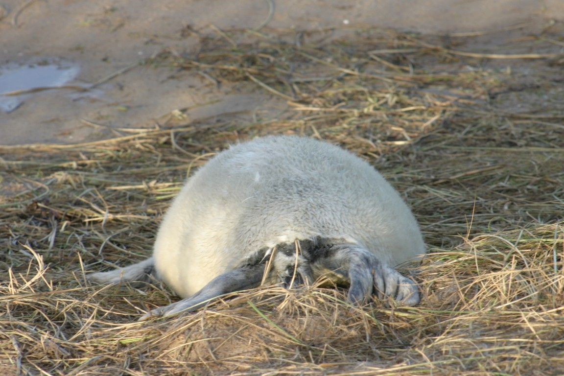 Seal Pup Resting On Grass