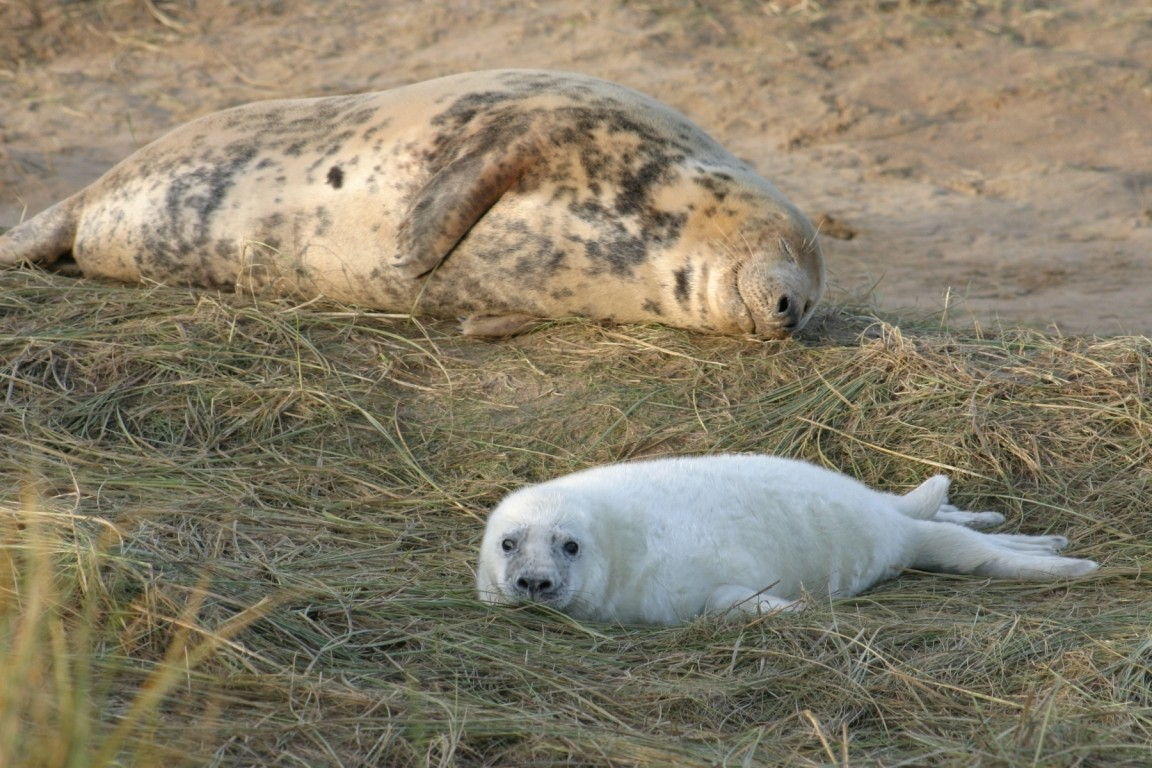 Seal Cow And Pup On Grass