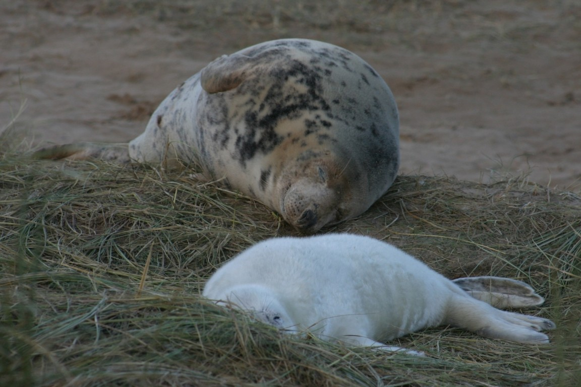 Seal Cow And Pup