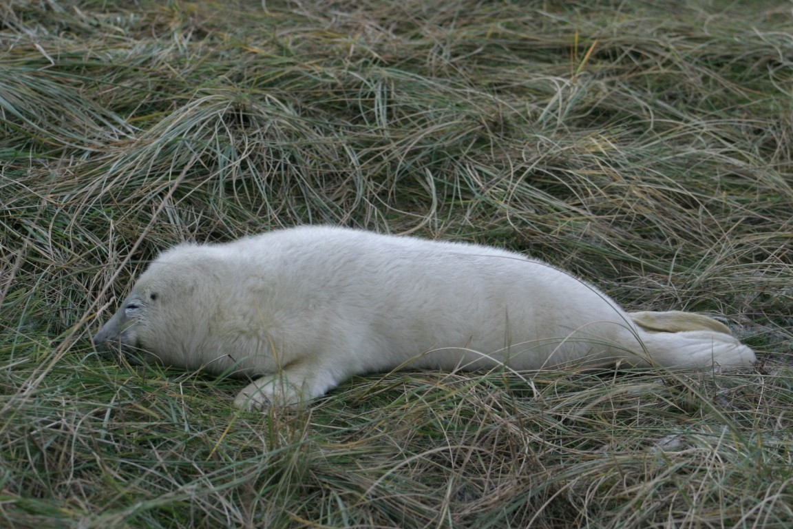 Newborn Seal Pup On Grass