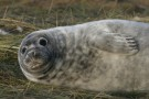 Podgy Looking Seal Pup