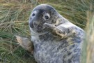 Seal Pup Clapping