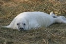 Newborn Seal Pup On Grass - Ideal Clubbing Candidate
