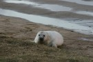 Newborn Seal Pup Climbing Grass Bank