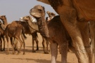 Two Day Old Camel, Western Desert