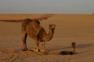 Camel And Newborn And Afterbirth, Nice!