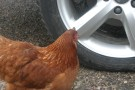 Chicken Inspecting Tim's Car