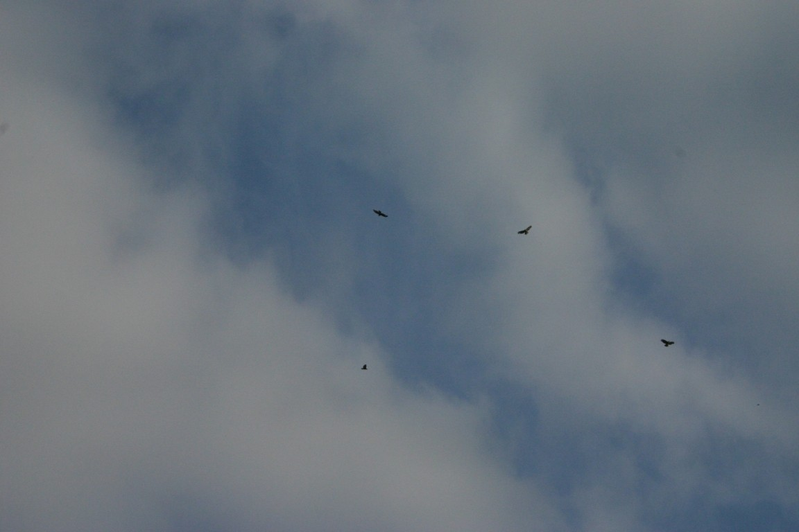 Buzzards Near Exeter