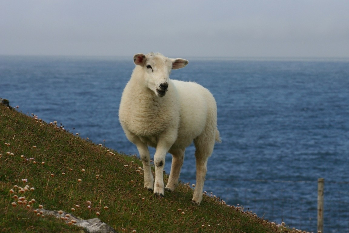 Sheep, Butt Of Lewis