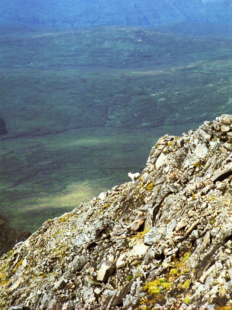 Mountain Sheep Near Sgurr na Banachdich