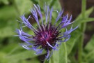 Centaurea Montana, Or Bachelor's Button