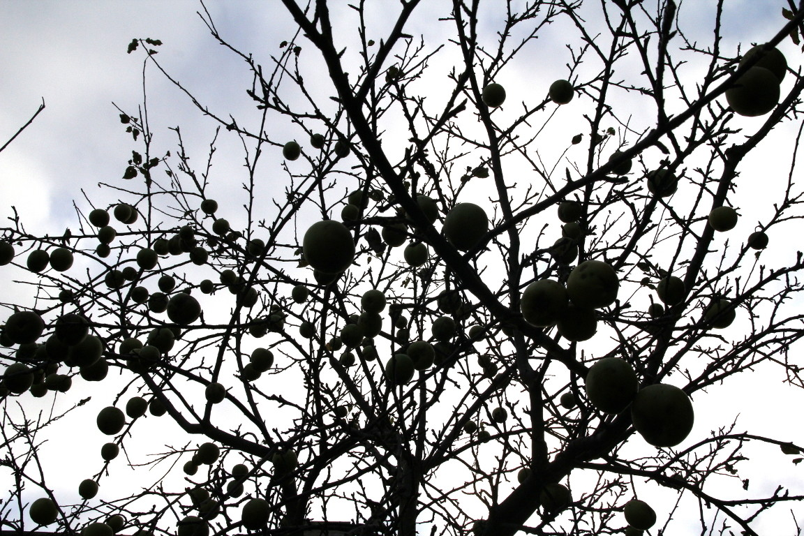 Apple Glut Silhouette