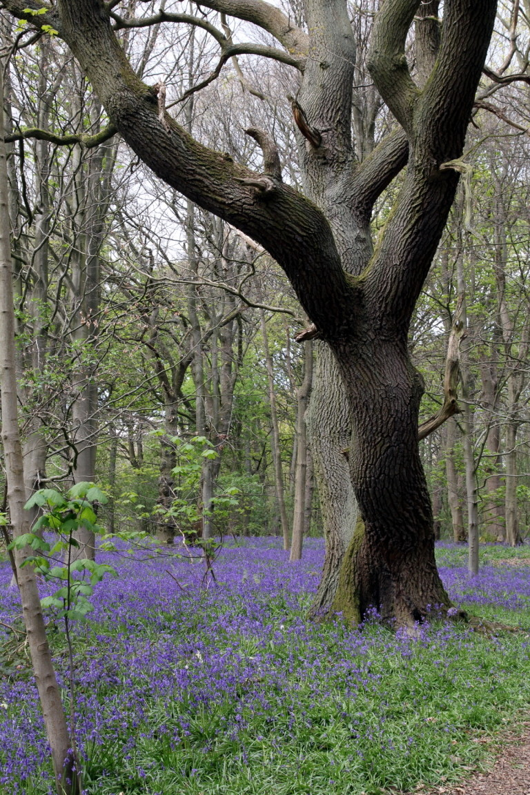 Bluebells, Middleton Woods