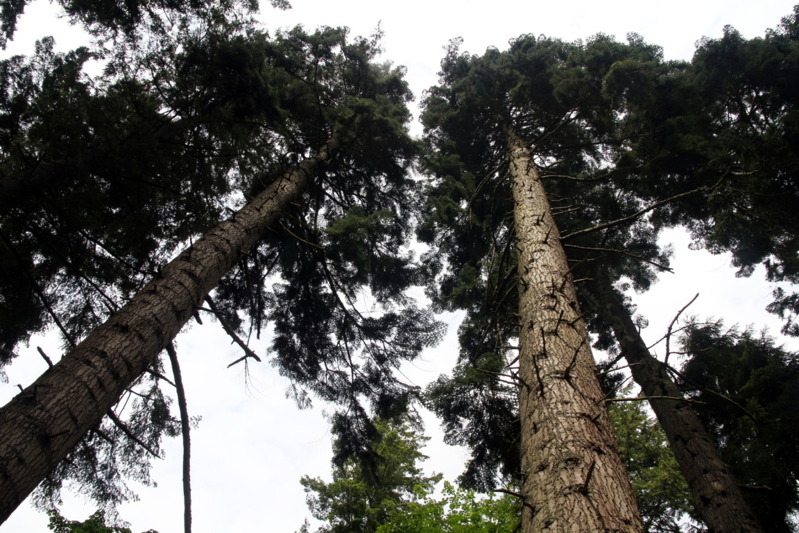 Trees, Cragside, Northumberland
