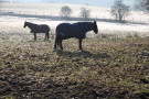 Horses in Frosty Field, West Carlton