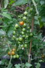 Suncherry Premium F1s Seem To Be Worth The 50 Pence Per Seed