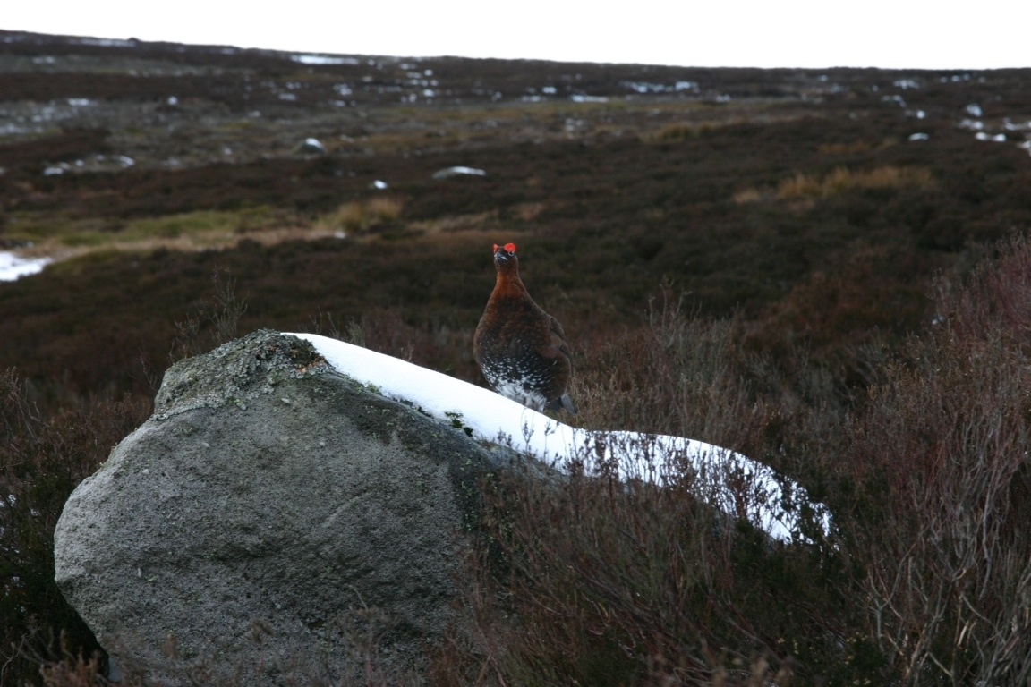 Grouse On Barden Fell